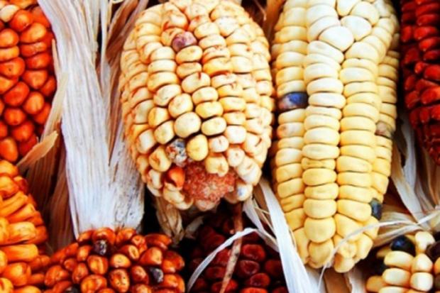 Дали маите са писали върху царевицата?