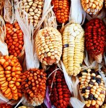 Кукуруза и Майя