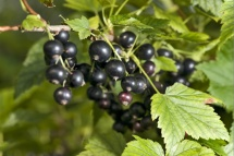 Чорна смородина з листям на кущі добра для фруктово-ягідної дієти
