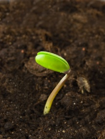 Зелений паросток сої проростає із землі