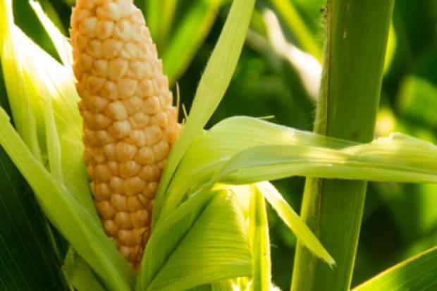 Кукурудза – овоч без глютену