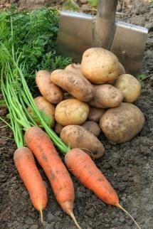 Картопля з морквою на городі на землі