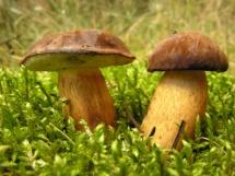 Два гриби серед трави