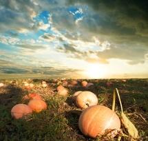 Великі гарбузи в полі на фоні надвечірнього неба